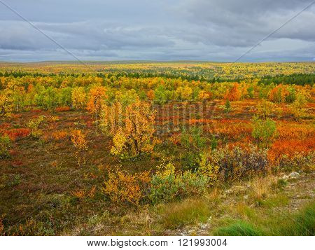 autumn colors (ruska) in a wilderness area, finnish lapland
