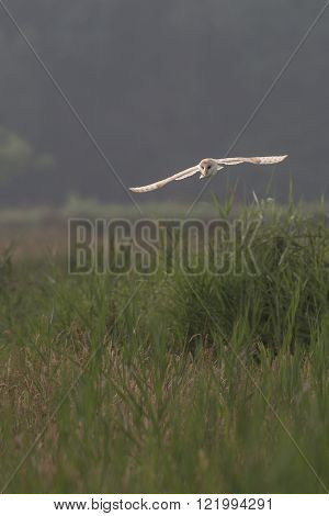 Barn owl hunting early morning over wild meadows and long grass with light through wing feathers (Tyto alba)