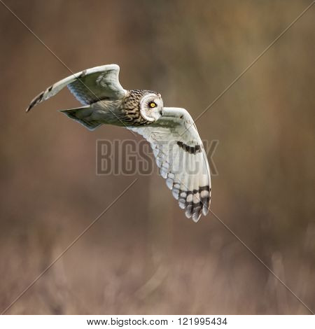 Wild Short eared owl in flight looking forward, wings down(Asio flammeus)