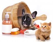 puppy bath time - French  bulldog puppy in wooden wash basin with soap suds  poster