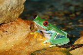 smilling red-eye tree frog Agalychnis callidryas  in nature poster