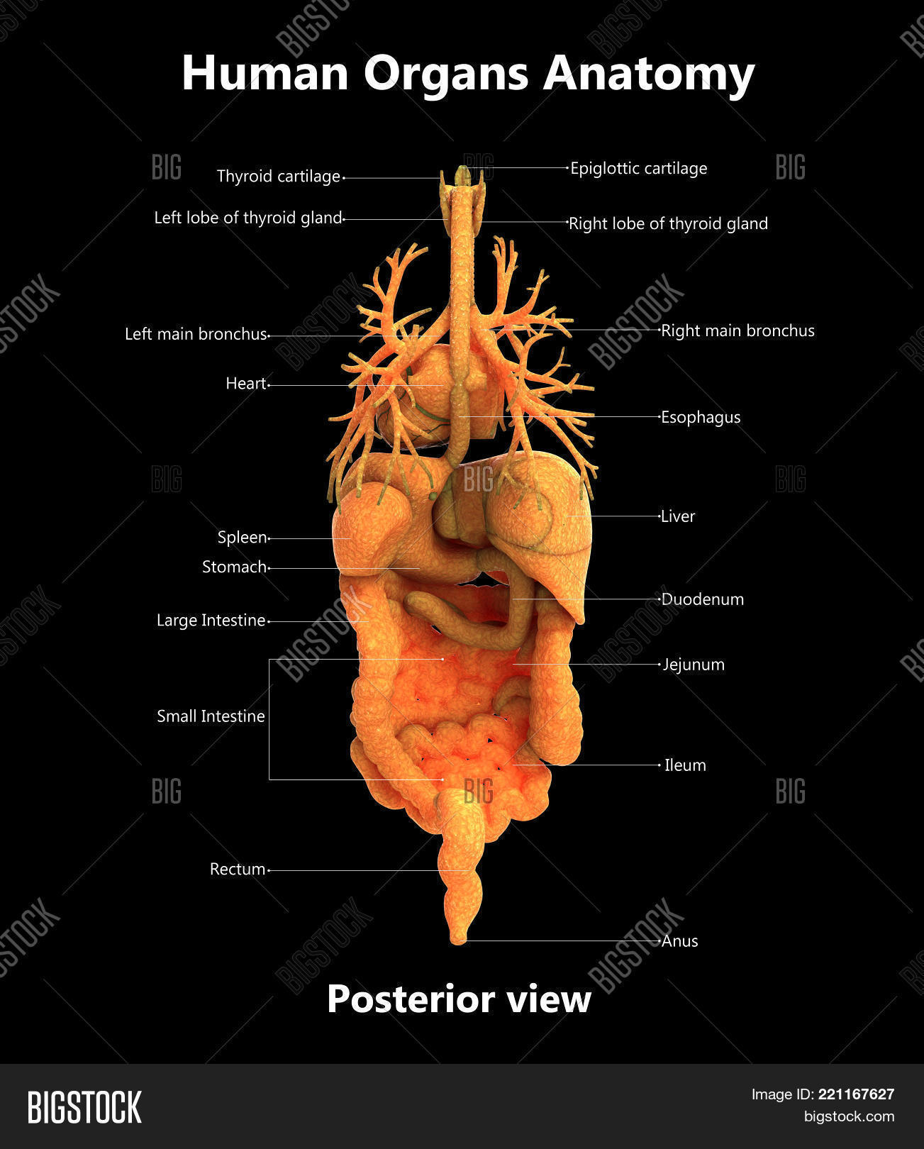 3d Illustration Human Image Photo Free Trial Bigstock