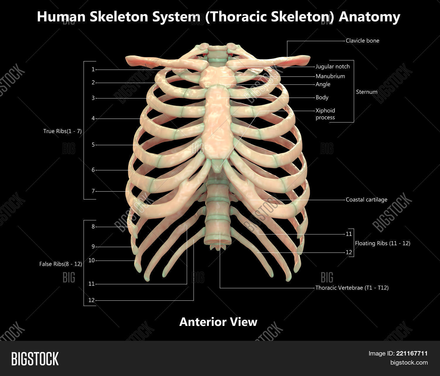 Human Skeleton System Image Photo Free Trial Bigstock