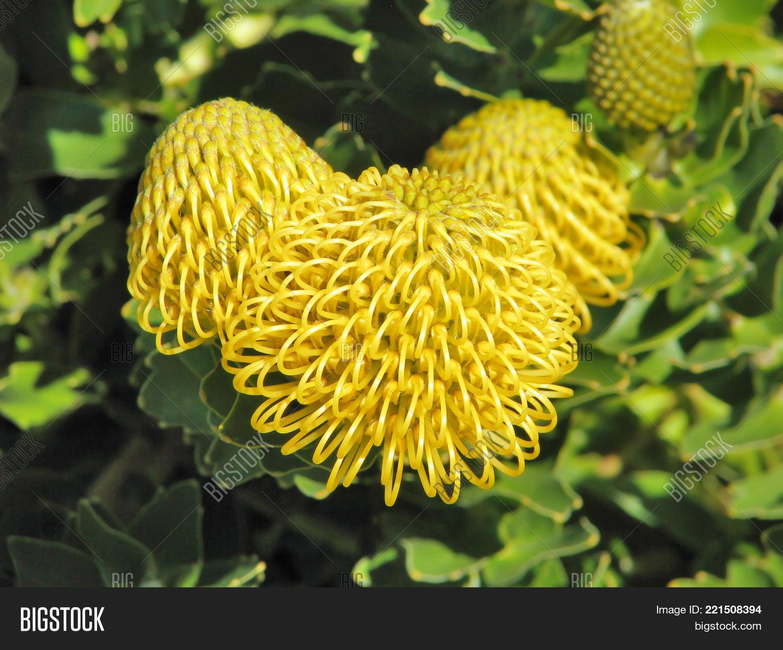 Yellow Pincushion Image Photo Free Trial Bigstock