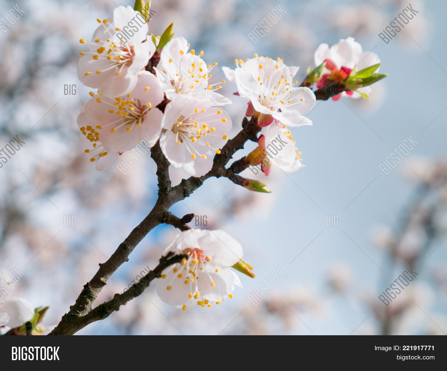 Apricot Tree Flowers Image Photo Free Trial Bigstock