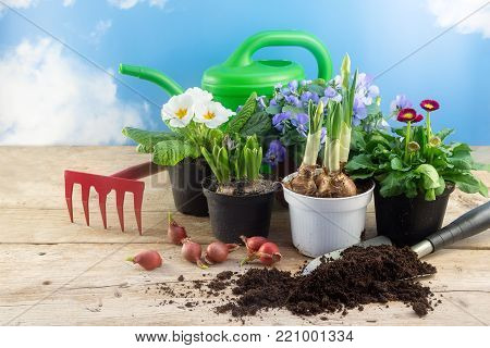 spring gardening, various flowers in pots, bulbs, watering can and a shovel with top soil on rustic wood against the blue sky with clouds, time for season planting in the garden or balcony, copy space, selectesd focus, narrow depth of field