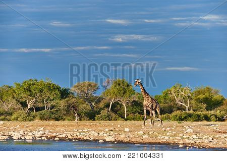 Beautiful Giraffe Is Drinking In A Waterhole In A Namibian Park