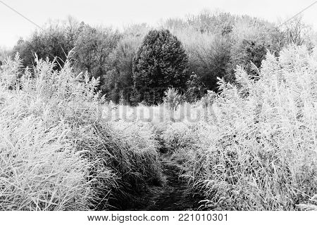 Autumn landscape on meadow. Reeds and forest in morning frost. Cold frosty morning. Black and white photo
