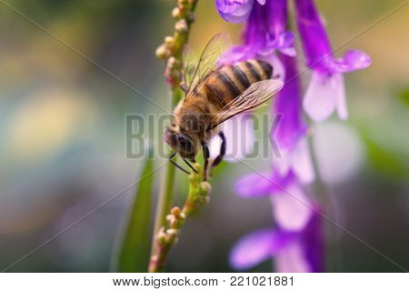purple or lilac flower with a bee collecting pollen or nectar. Purple flower like a daisy in flower bed.spring (summer) lilac (purple) flower and bee. Bee on a flower