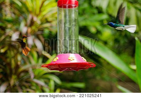 A ruby topaz hummingbird, latin name Chrysolampis mosquitus, and a white-necked jacobin hummingbird, latin name Florisuga mellivora, both heading for a bird feeder hanging in the rainforest of Tobago, Trinidad and Tobago.