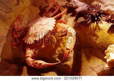 crab crustacean object taxidermy animals marine life theme