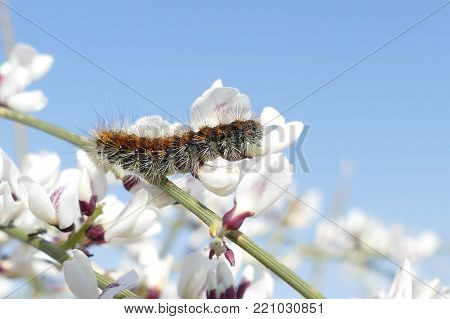 Fuzzy caterpillar on branch, climbing on white flowers with sky background