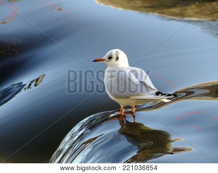 Black headed gull in its winter plumage