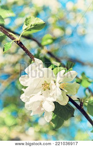 Spring background with flowers of blooming spring apple tree under sunlight, focus at the central spring apple flowers. Sunny spring nature, apple spring garden. Apple in spring blossom, colorful spring nature background