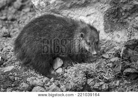 Cusimanse mongoose (kusimanse mongoose) aslo known as the long nose kusimanse which is found in most of the West Africa countries monochrome black and white image