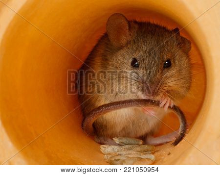 closeup field mouse holds the tail and looks at camera  inside of hole