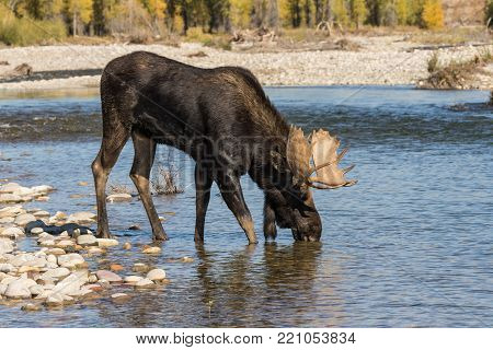 a bull moose stops for a drink in a river during the fall rut