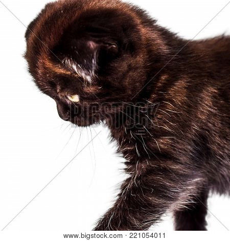 sad scottish Fold kitten isoliert on white background