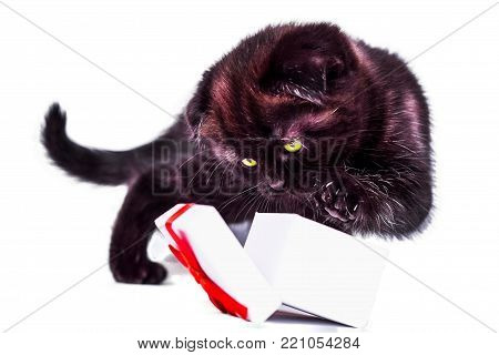 Scottish Fold kitten plays with gift box. isoliert on white background