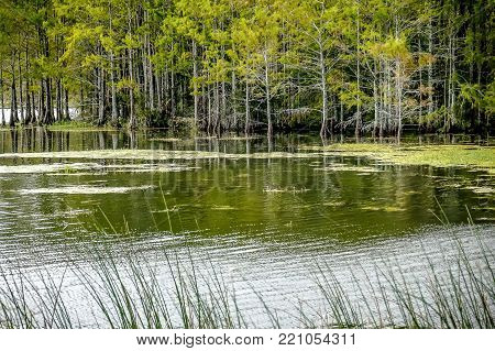 wetland landscape with reeds and cypress trees
