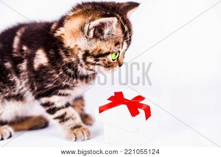 Scottish Straight kitten plays with gift box. isoliert on white background