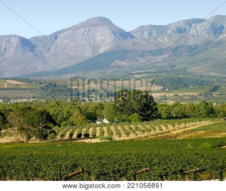 Country Farm Land, Grape Vines In The Fore Ground, With A Farm House And A Row Of Trees In The Cente