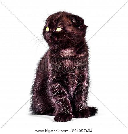 scottish Fold kitten isoliert on white background