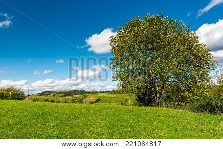 tree on the grassy rural hill. beautiful countryside summer scenery