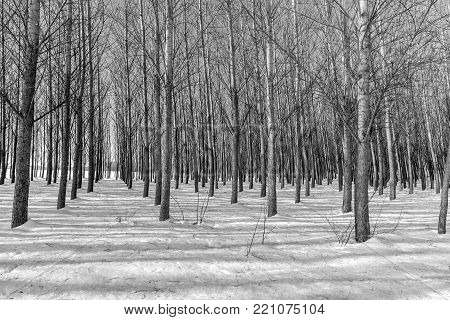 A black and white image of rows of barren trees in winter near Coeur d'Alene, Idaho.