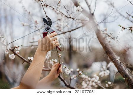 Hands of a farmer girl with a pruner. Pruning branches on a tree.