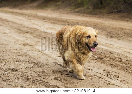 old pedigreed golden retriever dog autumn portrait