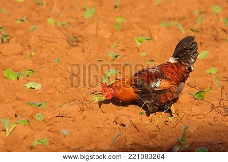 Rooster on tobacco plantation in the Vinales Valley (Cuba)
