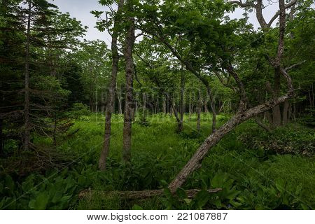 Dense green forest grounds on the Shiretoko Peninsula at Shiretoko 5-lakes, Shiretoko National Park, Hokkaido, Japan