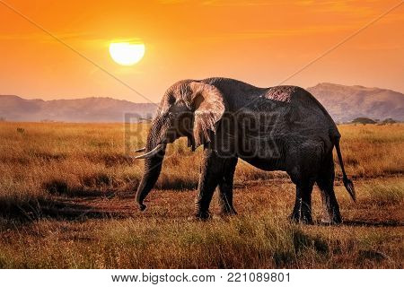 Wild elephant in the African savanna against the background of a beautiful orange sunset. Serengeti National Park.