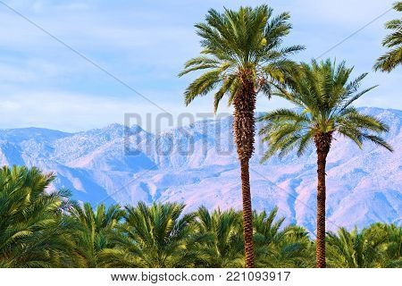 Palm Tree Oasis with barren mountains beyond taken at a date farm in the Coachella Valley, CA
