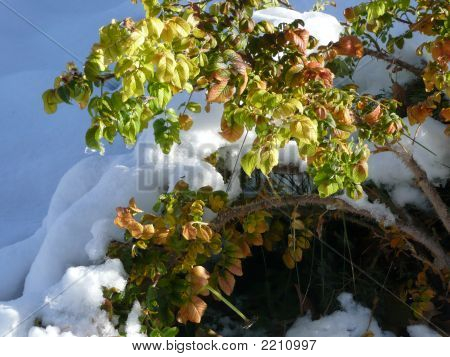 Shrub Covered With Snow