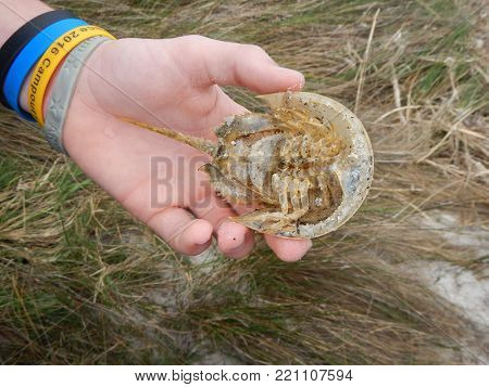 Horseshoe crab exoskeleton or molted shell.  Found in a natural protected animal sanctuary.