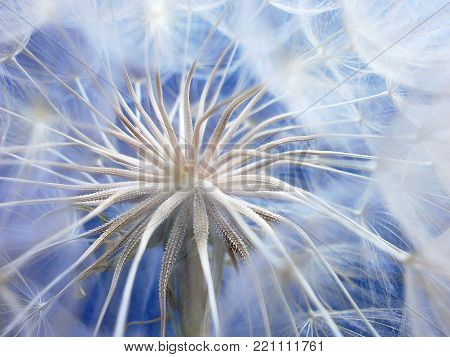 Flower dandelion on a blue background.A white head of dandelion is waiting for the breeze.