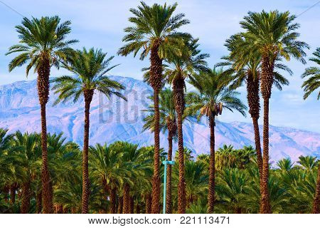 January 2, 2018 in Thermal, CA:  Date Palm Trees taken at Oasis Date Farm in Thermal, CA where people can visit daily and enjoy fresh date snakes while viewing the lush green palm oasis surrounded by a beautiful desert landscape and mountains