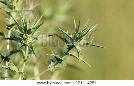 prickly plant in nature . In the park in nature
