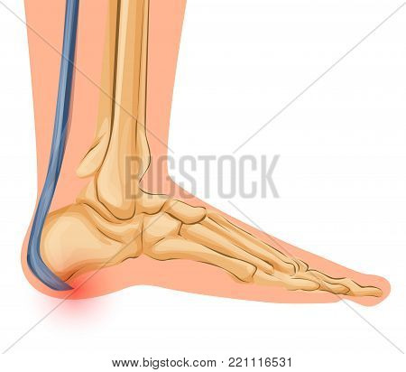 Foot Bone Anatomy Vector Illustration Medical art
