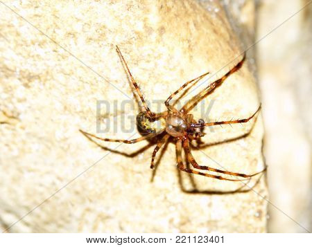Cave Orb Weaver Spider (Meta ovalis) at Maquoketa Caves State Park in Iowa