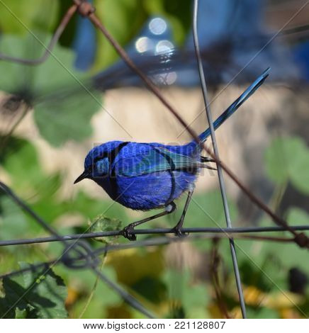 Splendid Fairy Wren Nicknamed Blue Wren Australia