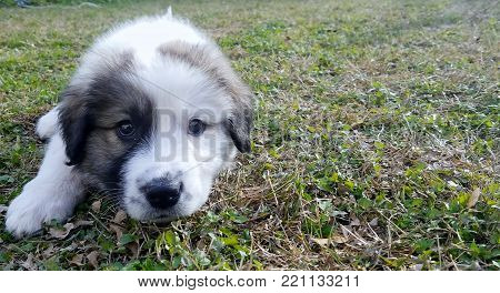 This portrait depicts a puppy laying in the grass. The puppy is mixed with St. Bernard and the picture was taken during the sunlight hours on a winter day.