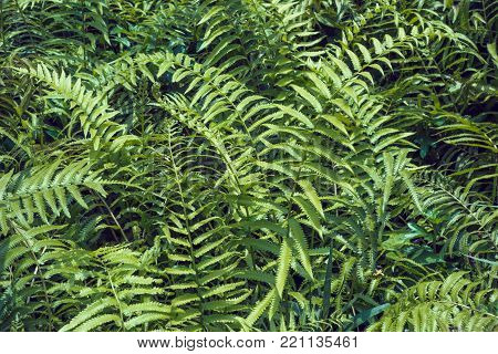 Ferns tropical green leaves foliage,floral natural background.spring and summer nature backdrop.