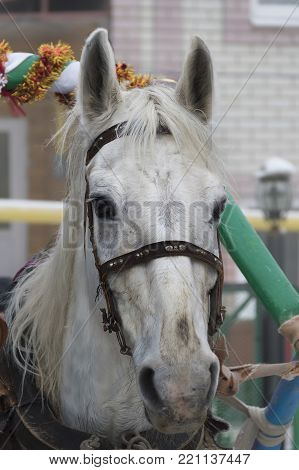 head of a white horse harnessed to a yoke in full-face