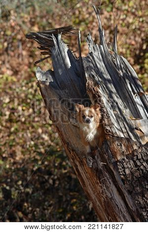 a Chihuahua sits in the hollow of an old snag