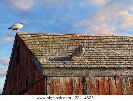Seagulls on the roof of an old bait shed.