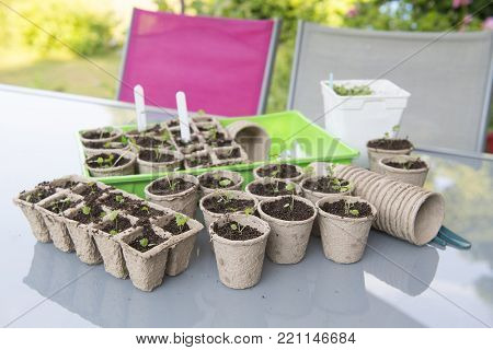Little seeded plants transplant in flower pots for the garden