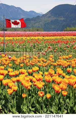 Fields of tulips in British Columbia, Canada with a Canadian flag.